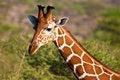 Free Giraffe Animal In A National Park Stock Photos - 10330833