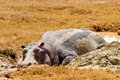 Free Hippo Animal Lying In The Mud Royalty Free Stock Photography - 10331417