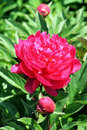 Free Red Rose 4 Royalty Free Stock Image - 10339116