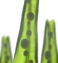 Free Pea Pods Royalty Free Stock Photography - 10330327