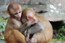 Free Baby Monkey Buddies Royalty Free Stock Photo - 10330375
