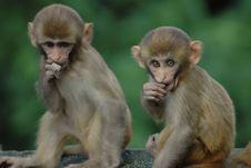 Free Baby Monkey Buddies Royalty Free Stock Images - 10330379