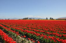 Free Red Tulip Fields Stock Image - 10330661