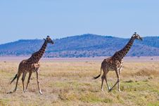 Free Giraffe Animal In A National Park Royalty Free Stock Photo - 10331005