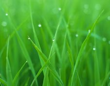 Free Grass With Drops Royalty Free Stock Image - 10331256