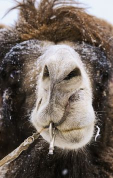 Free Camel Royalty Free Stock Photography - 10331967
