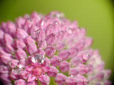Free Closeup Of Pink Petails Stock Image - 10332561