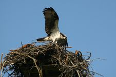 Free Osprey In Nest, Pandion Haliaetus Royalty Free Stock Photos - 10332638