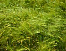 Free Barley Stock Photo - 10332650