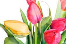 Free Tulips Isolated Royalty Free Stock Image - 10332696