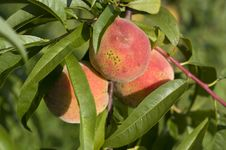 Free Fresh Peach Stock Images - 10332884