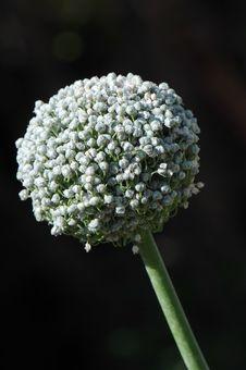 Free Garlic Bloom Stock Photos - 10333523