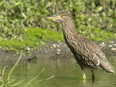 Free Black-crowned Night-Heron Juvenile Stock Image - 10333751