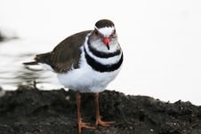 Free Three-banded Plover (Charadrius Tricollaris) Stock Images - 10334364