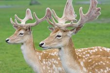 Free Portrait Of Two Gracious Deers Royalty Free Stock Image - 10334606