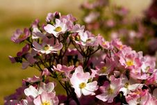 Free Pink Flowers Royalty Free Stock Photos - 10334708