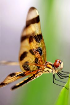 Free Brown Dragonfly Close Up Royalty Free Stock Image - 10334976