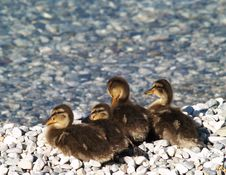 Free Four Ducklings Stock Images - 10336604