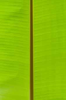 Free Banana Palm Tree Green Leaf Royalty Free Stock Image - 10337236