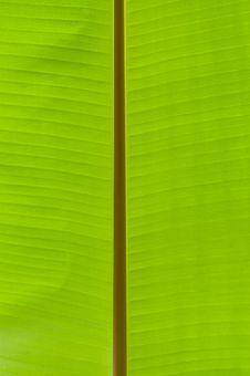 Banana Palm Tree Green Leaf Royalty Free Stock Image