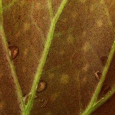 Free Begonia Leaf Royalty Free Stock Images - 10338809