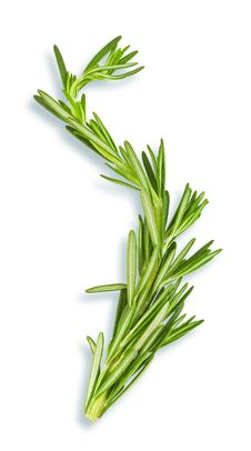 Free Twig Of Fresh Rosemary Royalty Free Stock Photography - 10338857