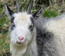 Free Mountain Goat 3 Royalty Free Stock Photography - 10339137