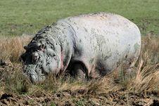 Hippopotamus Royalty Free Stock Photography