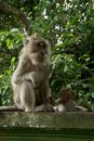Free Monkey Of The Monkey Forest Temple Royalty Free Stock Images - 10342679