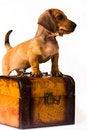 Free Dachshund Puppy Royalty Free Stock Image - 10342996