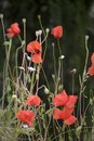 Free Red Poppies In Tuscany Stock Photography - 10347132