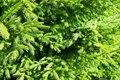 Free Closeup Of Spruce Branches Stock Photos - 10349083