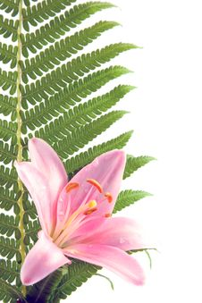 Free Fern Leaf And Lily Stock Photo - 10340550