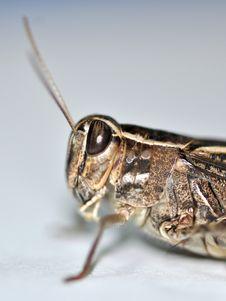 Free Locust Stock Image - 10341571