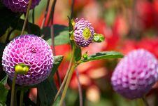 Free Purple Flower Royalty Free Stock Photos - 10342218