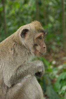 Free Monkey Of The Monkey Forest Temple Royalty Free Stock Photos - 10342668