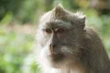 Free Monkey Of The Monkey Forest Temple Royalty Free Stock Image - 10342686