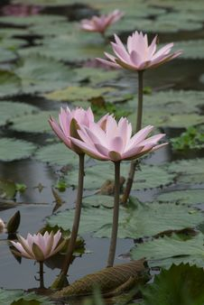 Free Lotus Flowers Stock Photography - 10342762
