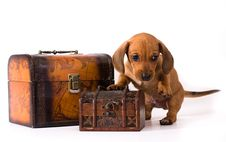 Free Dachshund Puppy Stock Photo - 10342880