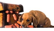 Free Dachshund Puppy Eating Tasty Sausages Royalty Free Stock Image - 10342956