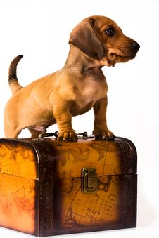 Free Dachshund Puppy Royalty Free Stock Image - 10342996