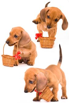 Free Dachshund Puppy Royalty Free Stock Image - 10343186