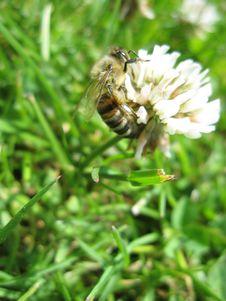 Free Bee Stock Photography - 10343662