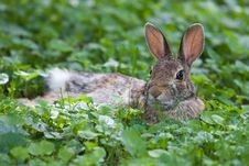 Jack Rabbit Resting Stock Images