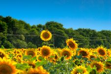 Free Sunflower With A Bird Stock Image - 10346931