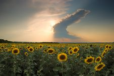 Sunflowers On A Background Of Magic Sunset Royalty Free Stock Image