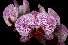 Free Pink Orchid Royalty Free Stock Photos - 10347778