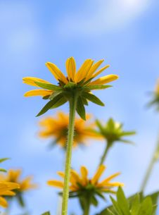 Free Yellow Daisy Stock Image - 10347801