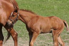 Free Foal 7 Royalty Free Stock Photo - 10348765