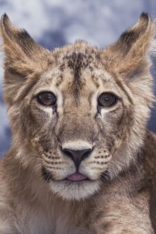 Portrait Of A Lioness Young Little Cute And Funny Royalty Free Stock Images